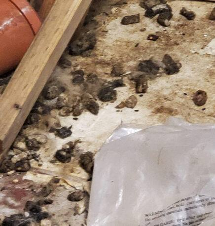 Animal Feces on Floor for Rodent Feces Cleaning in Modesto, CA