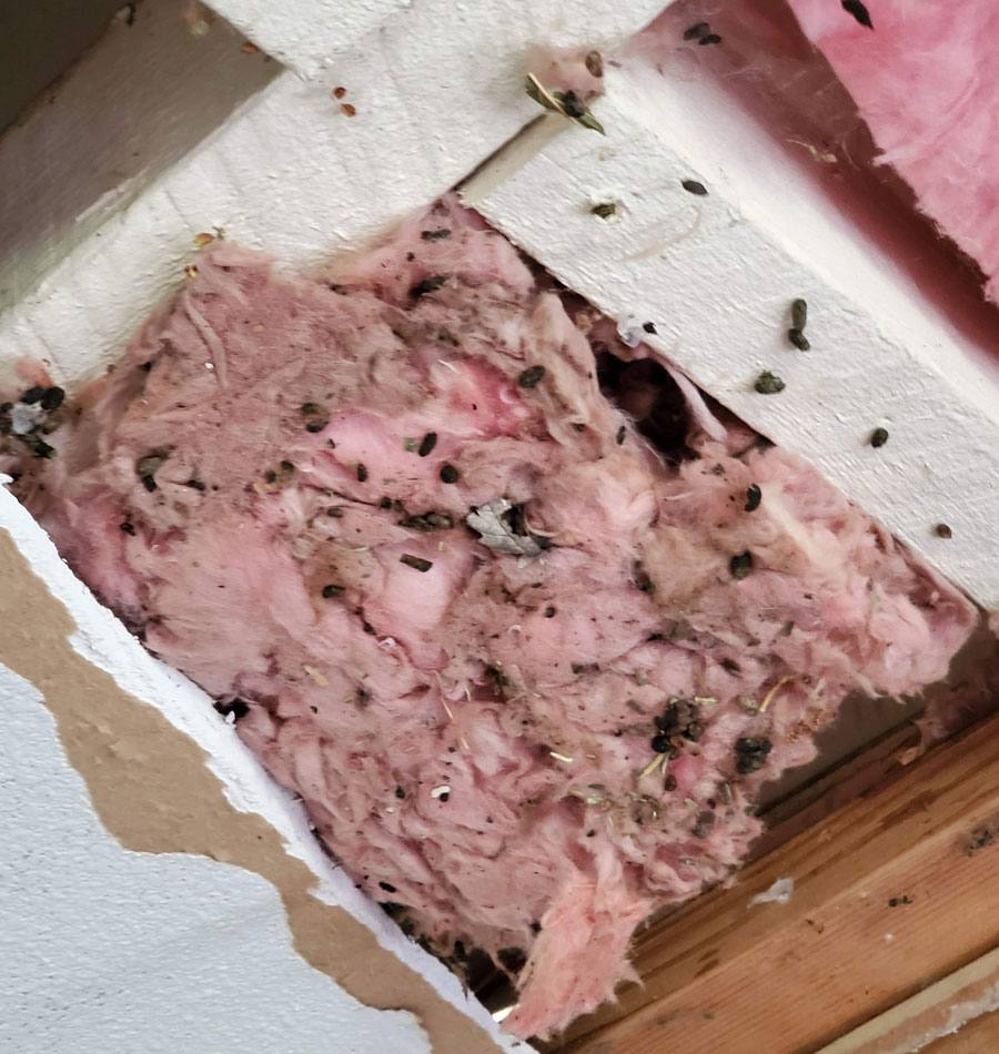 Rodent feces clean up in San Jose, CA, in the ceiling insulation